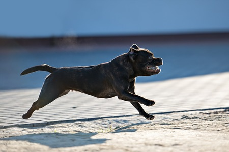 Female english staffordshire bull terrier in summer day