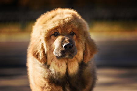 vigilant: Tibetan Mastiff puppy dog in summer day