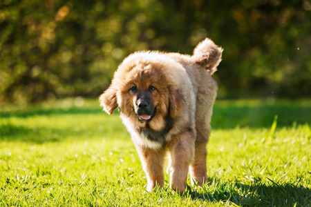 Tibetan Mastiff puppy dog in summer day