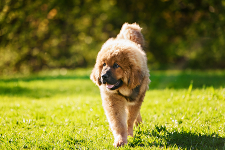 mastiff: Tibetan Mastiff puppy dog in summer day