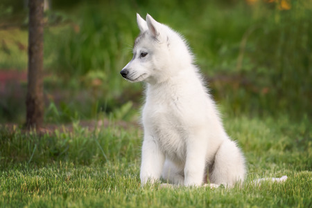 blue grey coat: One Little cute puppy of Siberian husky dog outdoors Stock Photo