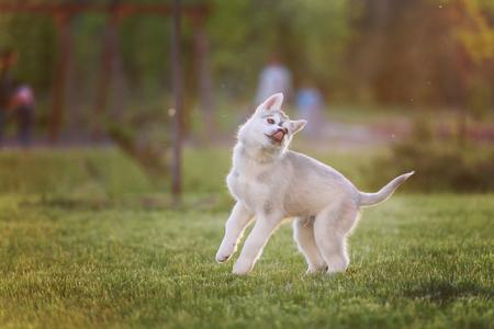 One Little cute puppy of Siberian husky dog outdoors Archivio Fotografico