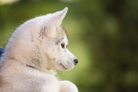 シベリアン ハスキー犬を屋外の 1 つの小さなかわいい子犬 写真素材
