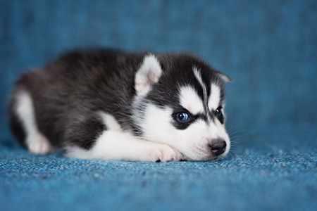 pretty eyes: A beautiful Husky puppy with pretty blue eyes on a blue background. Stock Photo