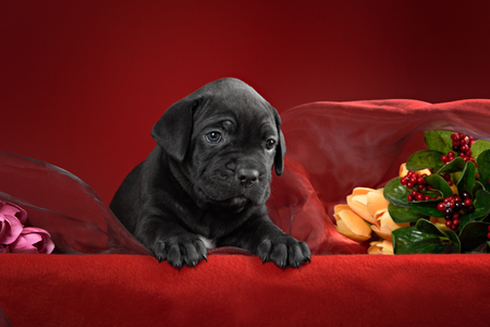 noticeable: Black puppy of breed the cane Corso Italiano on a red background