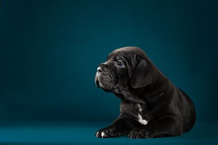 puppy breed Italian Cane Corso with studio shot