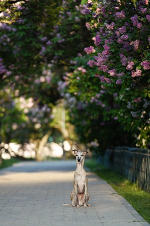 animal behavior: Whippet standing in landscape with selective focus on dog