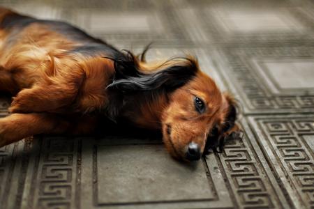 Longhair dachshund puppy lying down in outdoor