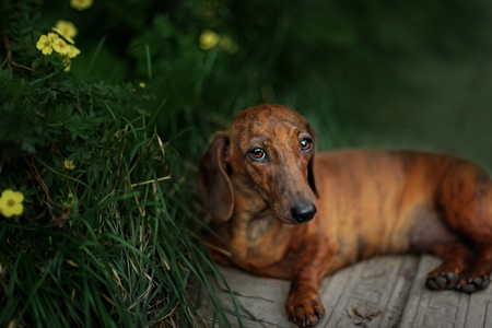 short haired: Portrait of dog breed short haired dachshund in outdoore