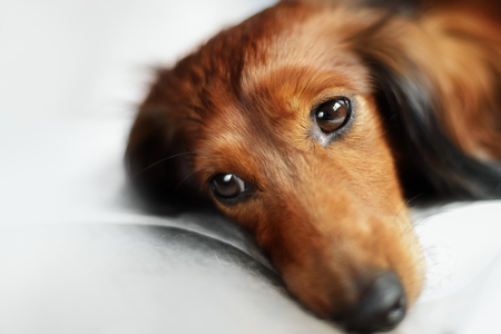 doxie: Longhair dachshund dog lying down and big eyes Stock Photo
