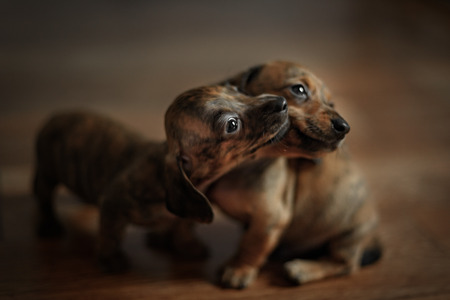 doxie: very small puppies of smooth haired dachshunds play at home