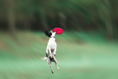 perro corriendo: A picture of a fast dog running on the grass