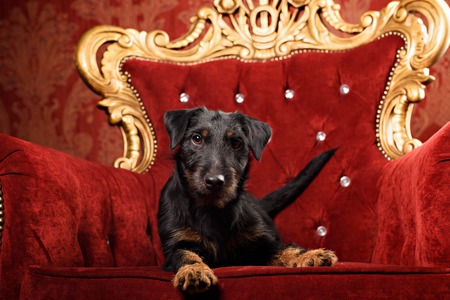 Black Yagd Terrier on royal red interior background