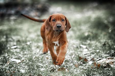 Beautiful dog rhodesian ridgeback hound puppy outdoors on a field Archivio Fotografico