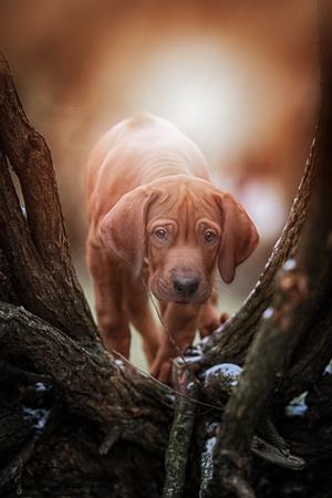 rhodesian: Beautiful dog rhodesian ridgeback hound puppy outdoors on a field Stock Photo