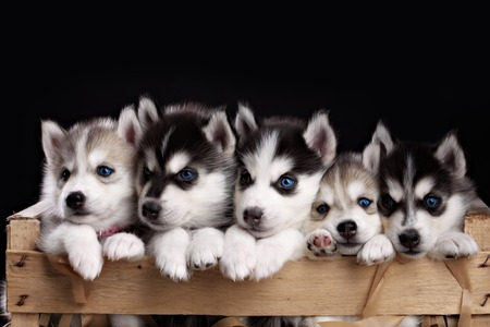funny five husky pups in black background. studio shot Stock Photo