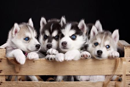 pups: funny five husky pups in black background. studio shot Stock Photo