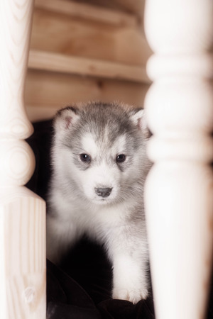 blue grey coat: One puppy dog of siberian husky breed  on wooden floor with wood background