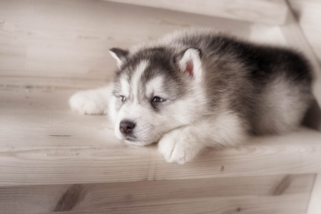 One puppy dog of siberian husky breed  on wooden floor with wood background