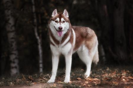 シベリアン ハスキー犬屋外。ハスキー犬の肖像画。クローズ アップ。 写真素材