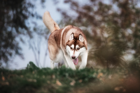 dog run: brown siberian husky dog run in outdoor