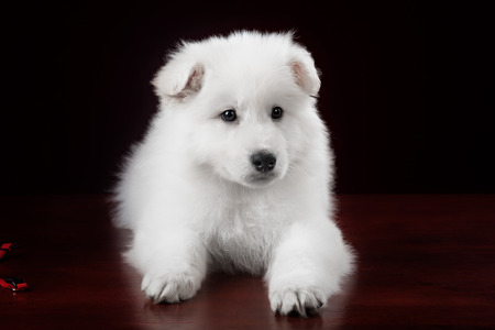 tearing down: White swiss shepherd puppy on red background portrait