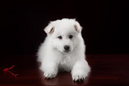tearing down: White swiss shepherd puppy on red background portrait