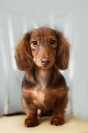 reverie: Dachshund dog looks at camera in home