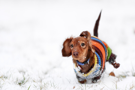 funny dog dachshund  jumps up in winter park Archivio Fotografico
