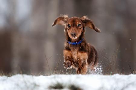 面白い犬ダックスフントは冬の公園にまでをジャンプします。 写真素材
