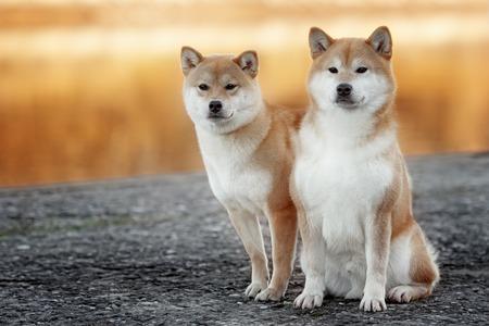 屋外で 2 つの美しい芝犬犬