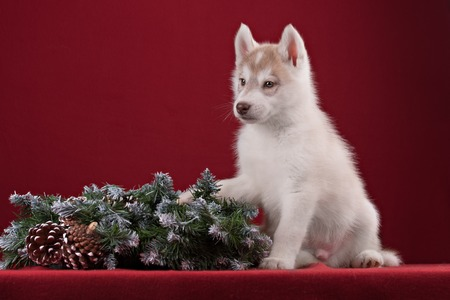 pure breed: Very cute puppy Husky in the Studio with decorations and flowers. The photo for congratulation and celebration