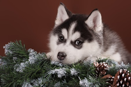 pet new years new year pup: Cute puppy Husky with Christmas wreath in studio Stock Photo