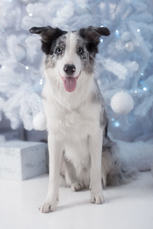 wishful: Border collie dog lying down on white Christmas lights with colorful bokeh sparkling lights in background looking hopeful wishful believing celebratory concerned
