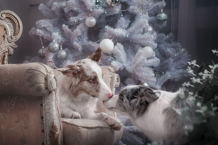 Two dogs of breed the border collie in the Studio with Christmas decorations