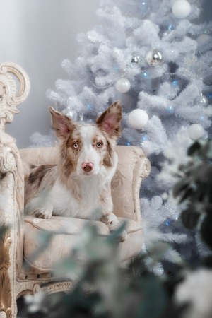wishful: Border collie dog lying down on white Christmas lights looking hopeful wishful believing celebratory concerned