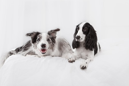 breeds: Two dog breeds Border collie and Russian Spaniel lying on the bed in white room Stock Photo