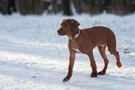 ridgeback: cute Rhodesian Ridgeback dog play and run on winter background