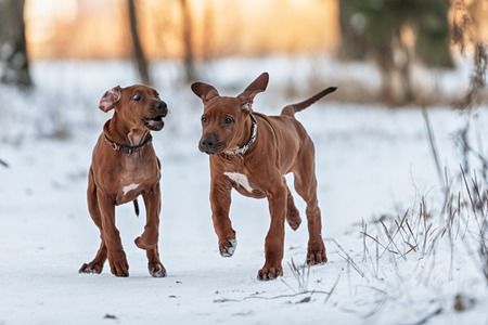 ridgeback: Few dogs of the breed Rhodesian Ridgeback having fun, running and playing on a winter day