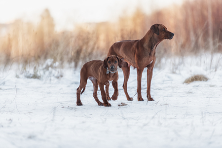 breeders: Few dogs of the breed Rhodesian Ridgeback having fun, running and playing on a winter day