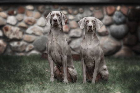 mans best friend: Two Weimaraner dogs in heavy fog on a cold, frosty winter morning Stock Photo