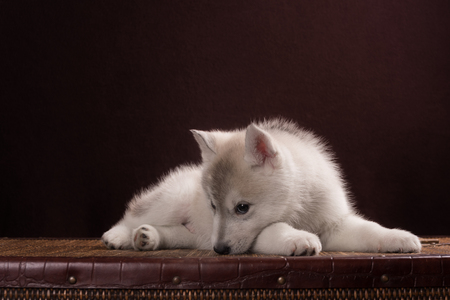 gray wolf black and white: Cute Puppy Siberian Husky in brown studio