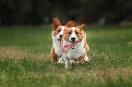 Two pembroke welsh corgi puppies running in the yard