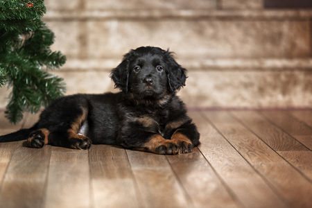 Cute black hovawart puppy portrait in home