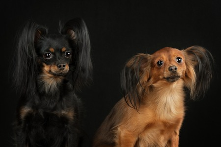 toy terrier: Two Russian toy terrier black and red color on a black background.