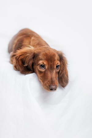doxie: long haired miniature dachshund with back to view with reflection on white background Stock Photo