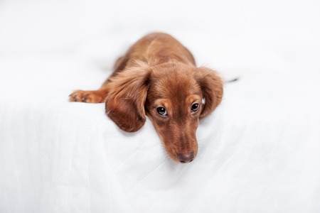long haired: long haired miniature dachshund with back to view with reflection on white background Stock Photo