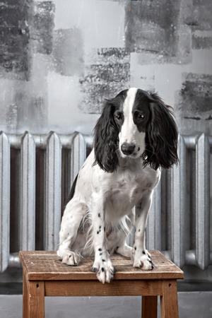hunting cocker spaniel: portrait of black and white russian spaniel in studio