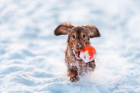 perros graciosos: Dachshund de pelo largo del perro de color rojo funciona con la bola en la boca con la nieve