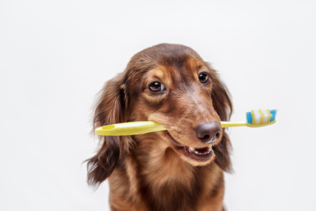 doxie: Dachshund dog with a toothbrush on a light background, not isolated Stock Photo